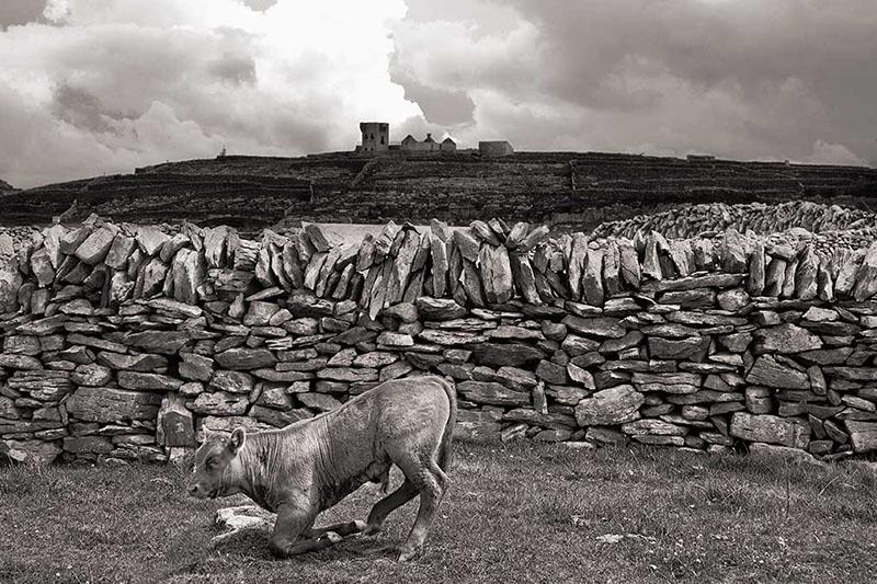 Kneeling Cow, Inisheer,  2007, Aran Islands, Ireland