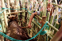 Cow Killing Festival Of Indigenous People
