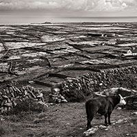 Cow and View, Inishman, Aran Islands, Ireland
