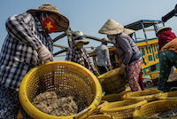 Workers sort the day's shrimp catch
